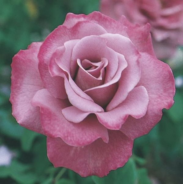 Image of Angel Face Floribunda Rose