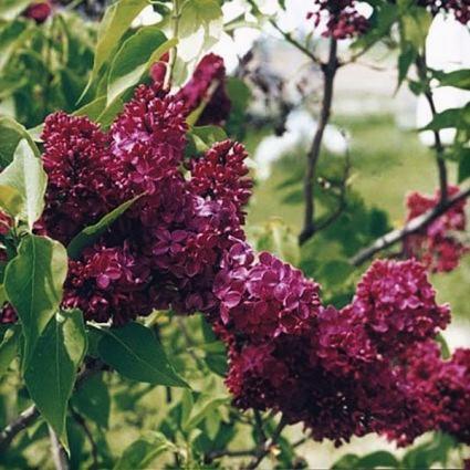 Agincourt Beauty Lilac