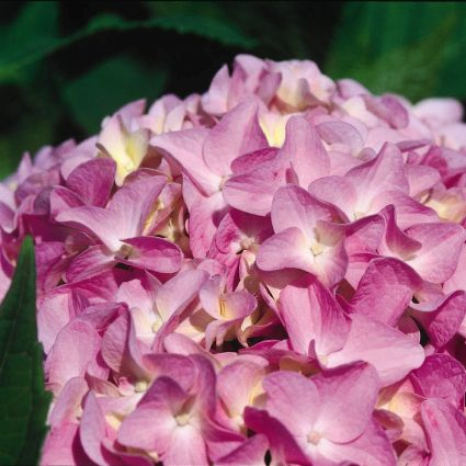 Image of All Summer Beauty Hydrangea