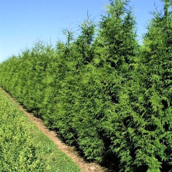 Image of American Arborvitae