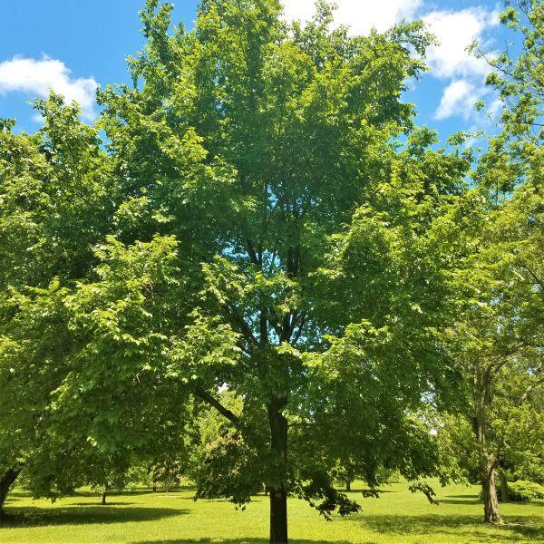 Globe Arborvitae