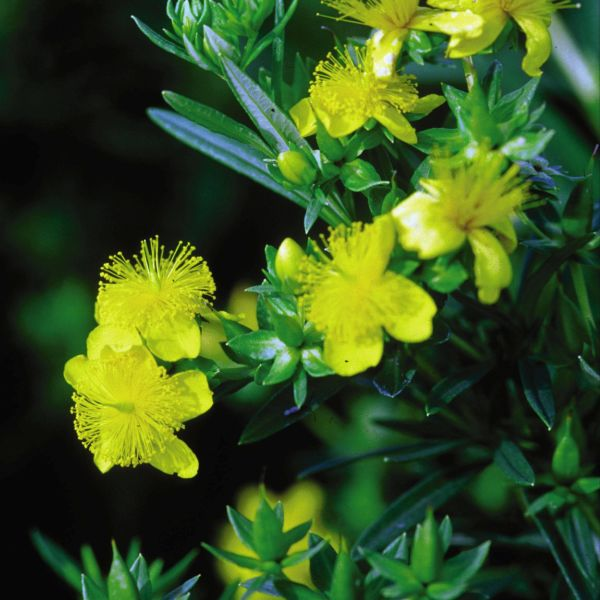 Image of Ames St Johns Wort