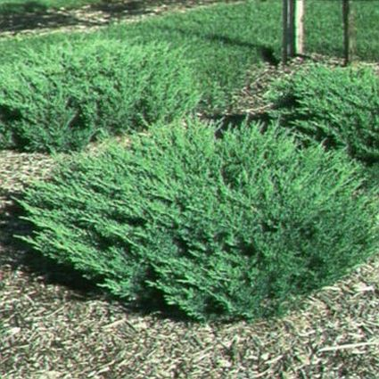Image of Andorra Juniper