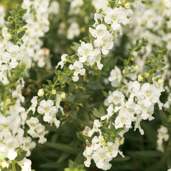 Image of Angelface® White Angelonia