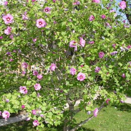 Image of Aphrodite Rose of Sharon