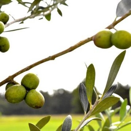 Image of Arbosana Olive Tree
