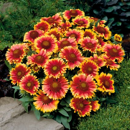 Image of Arizona Sun Gaillardia