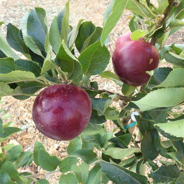 Image of Arkansas Black Apple Tree