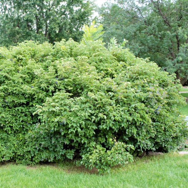Image of Arrowwood Viburnum