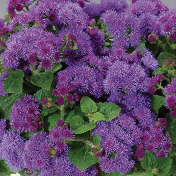 Image of Artist Blue Ageratum