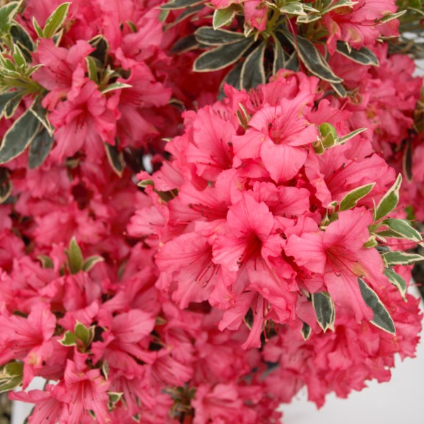 Image of Ashley Marie Girard Azalea