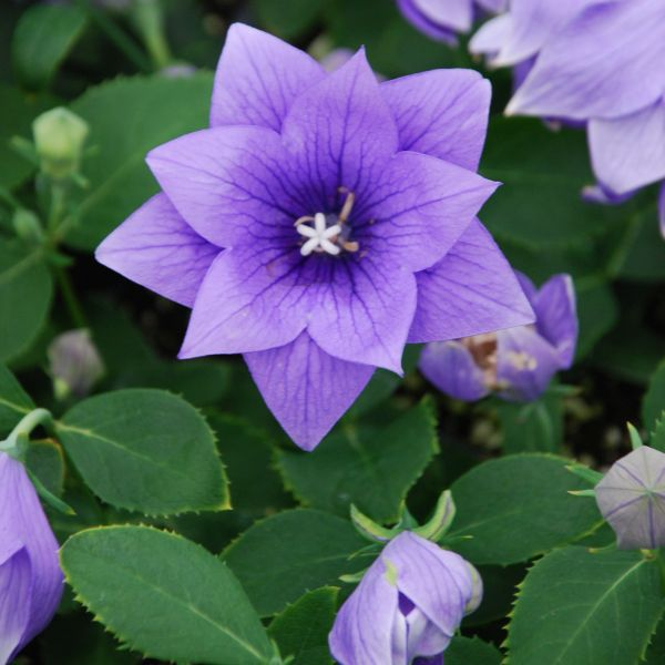 Astra Double Blue Balloon Flower