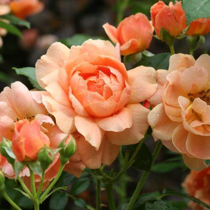 At Last® Rose