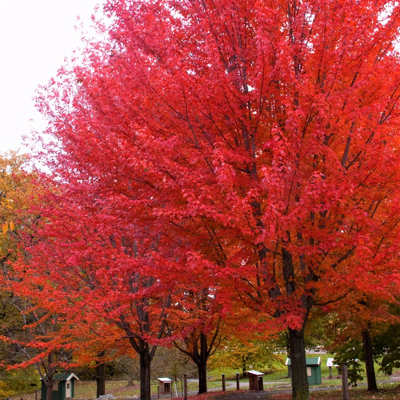 Autumn Blaze® Maple