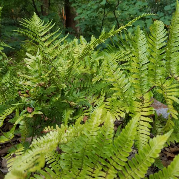 Autumn Fern