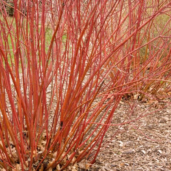 Bailey Red Twigged Dogwood