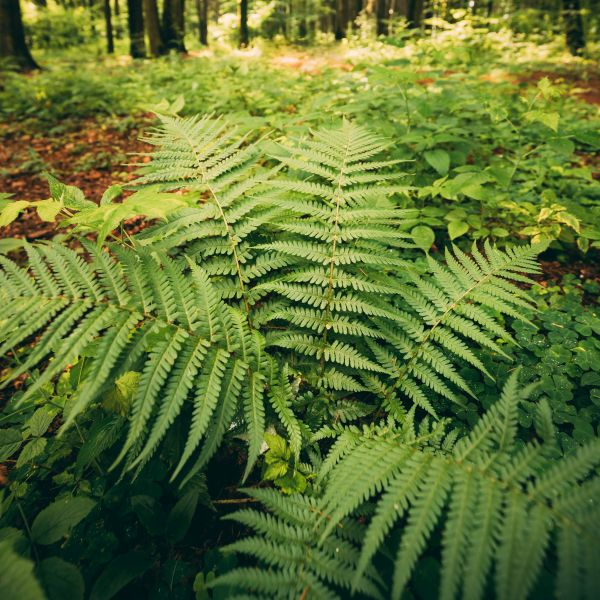 Beautiful Wood Fern