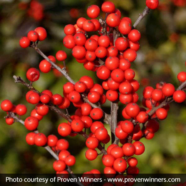 Berry Heavy® Winterberry Holly