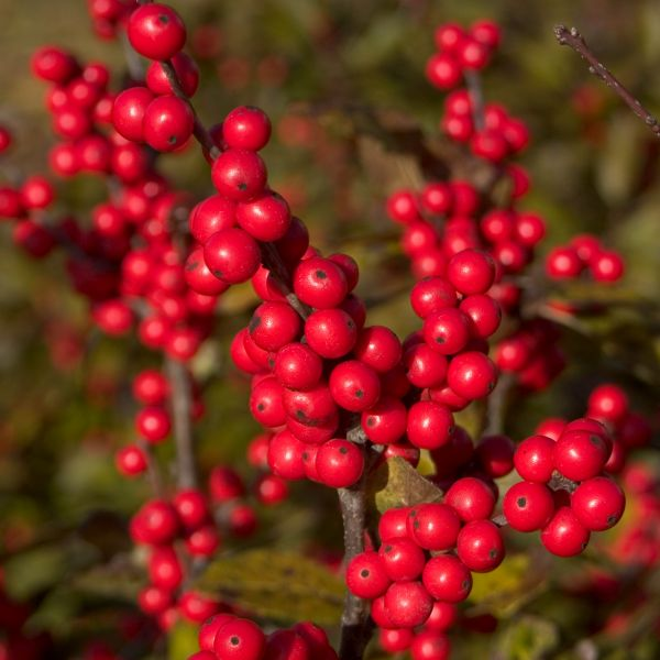 Berry Nice Holly
