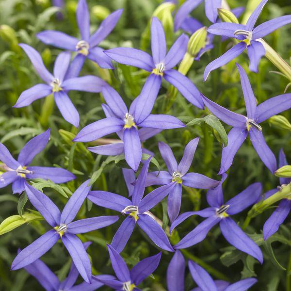 Beth's Blue Star Flower