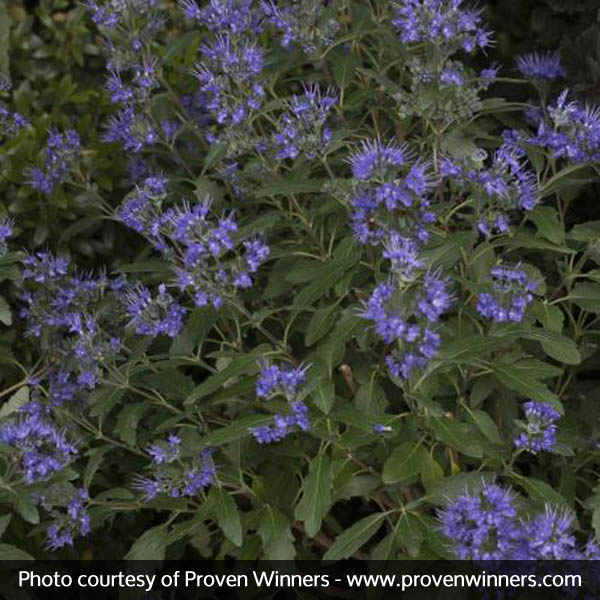 Beyond midnight bluebeard nature hills nursery mightylinksfo