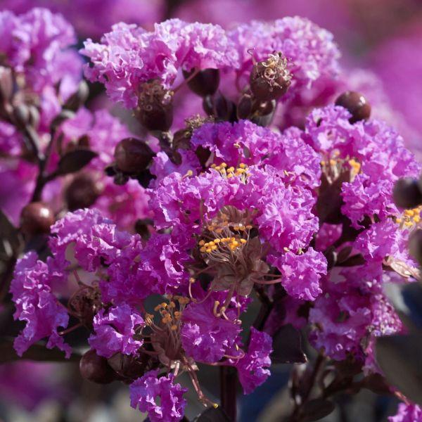 Black Diamond Purely Purple Crape Myrtle