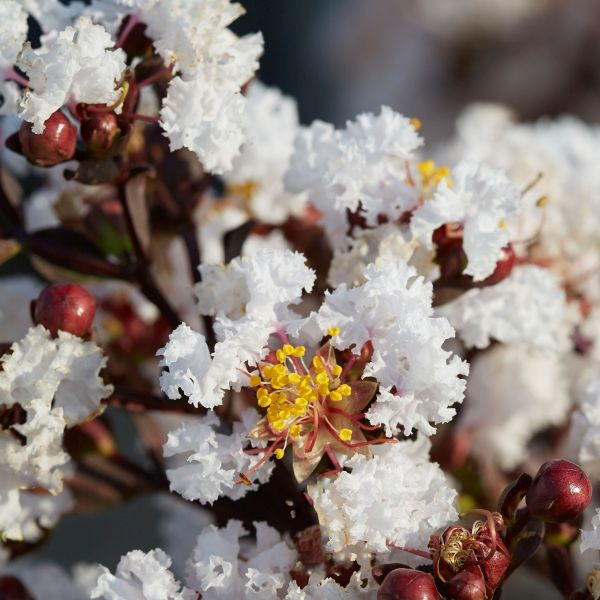 Black Diamond® Pure White™ Crape Myrtle
