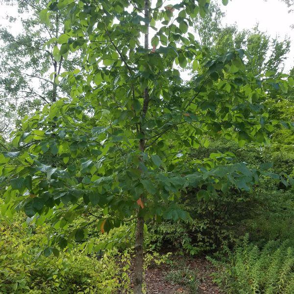 Black Gum Trees