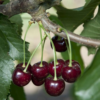 Black Tartarian Cherry Tree