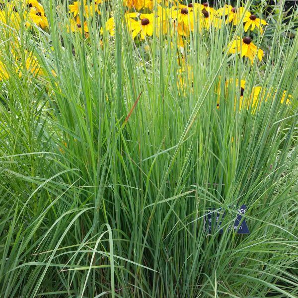 Image of Blaze Little Bluestem Grass