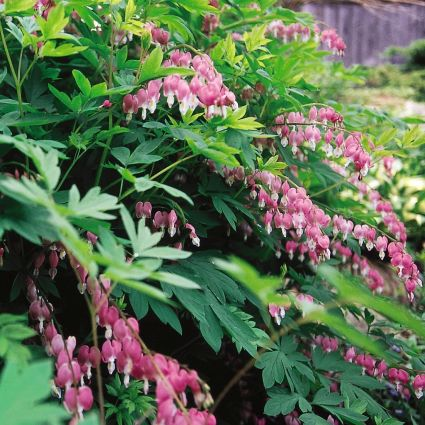 Bleeding Heart Spectabilis