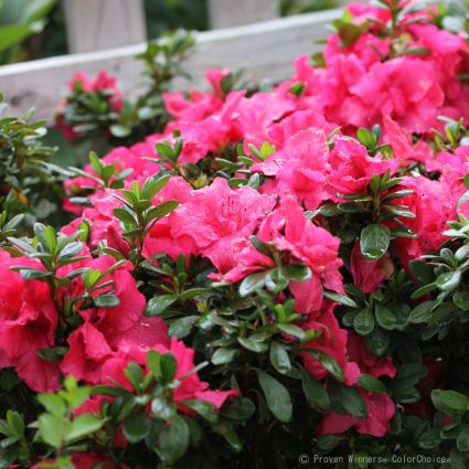 Bloom-A-Thon® Hot Pink Reblooming Azalea