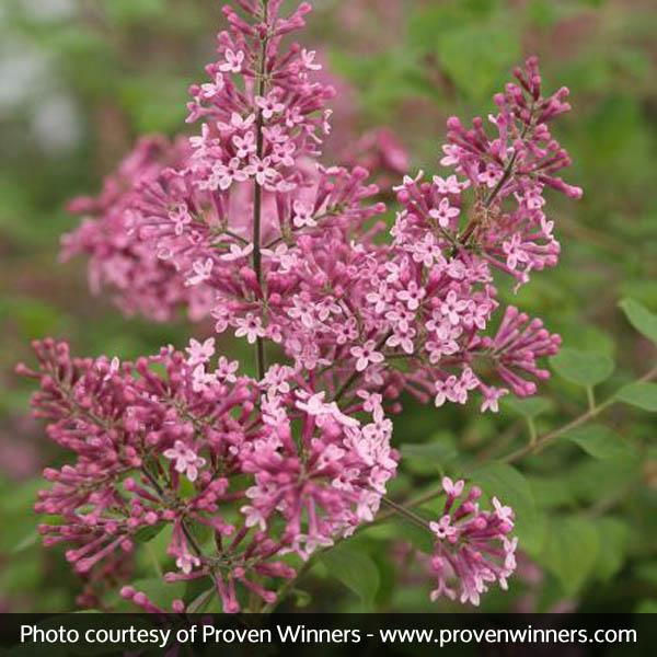 Bloomerang® Pink Perfume Lilac