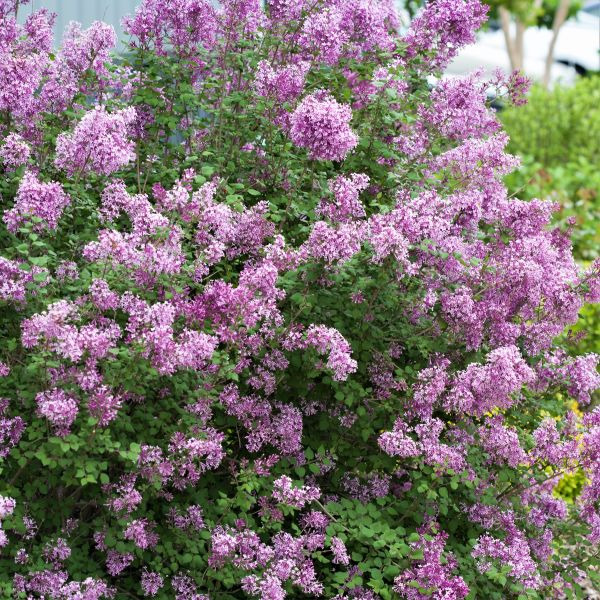 Bloomerang Purple Lilac Tree