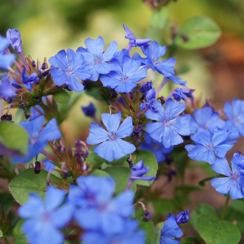 Blue Plumbago Plant