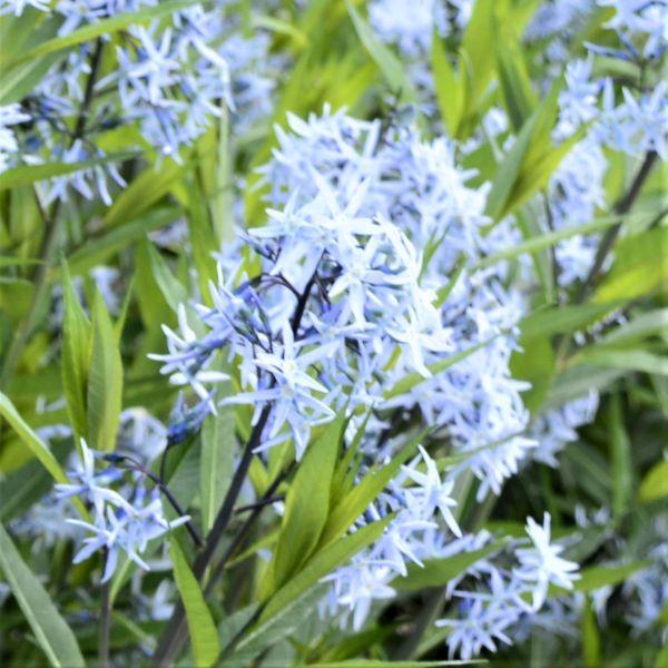 Image of Arkansas Blue Star