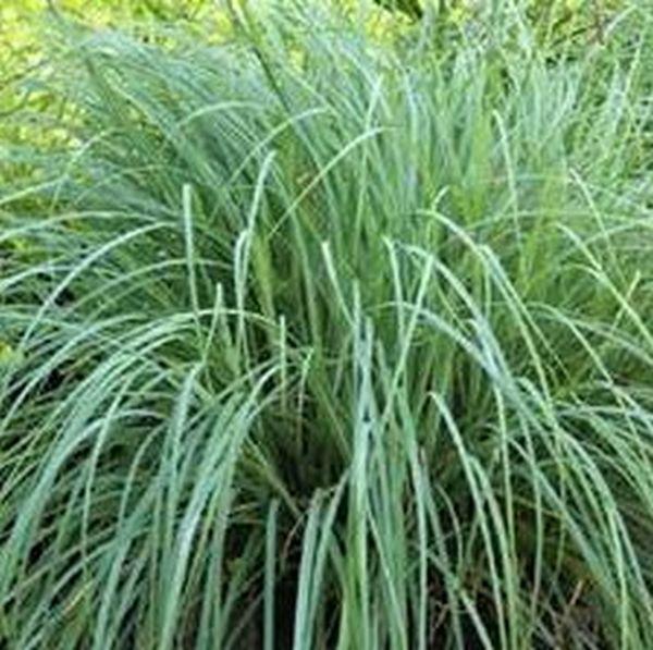 Blue Zinger Sedge Grass Image