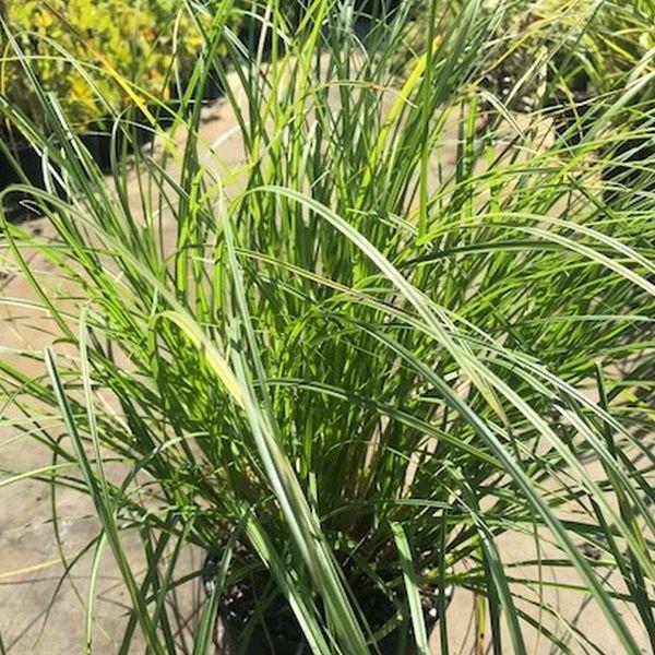 Bottlebrush Sedge Grass Image