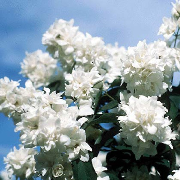Bouquet Blanc Mock Orange