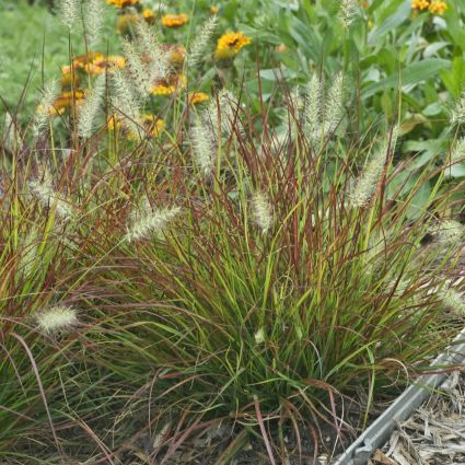 Burgundy Bunny Grass