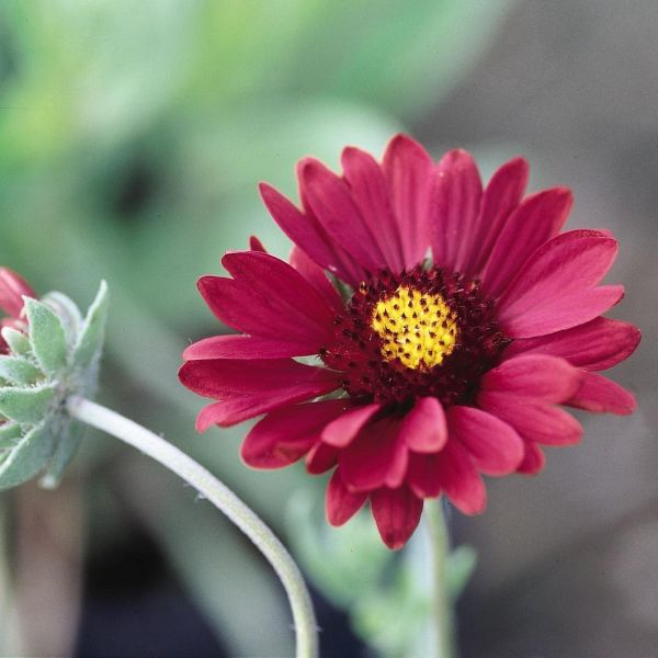 Image of Burgundy Gaillardia