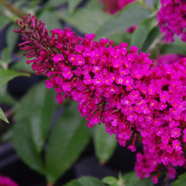 Buzz Hot Raspberry Butterfly Bush