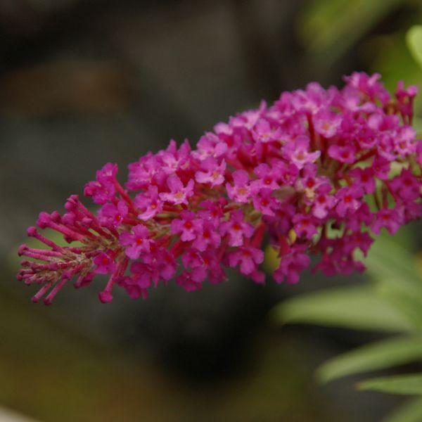 Buzz Magenta Butterfly Bush