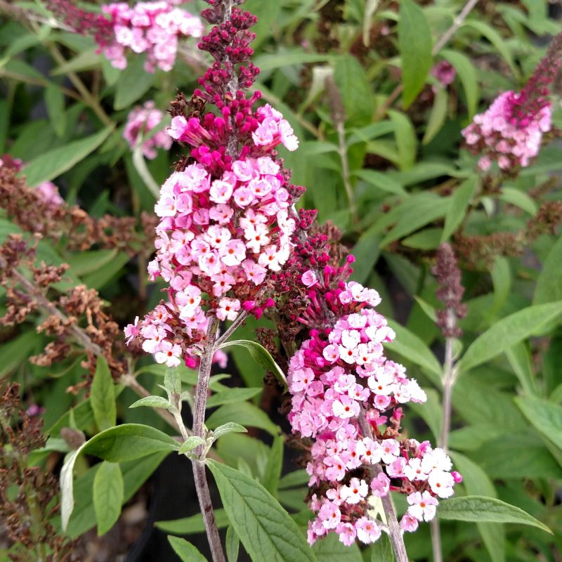 BUZZ Soft Pink Butterfly Bush