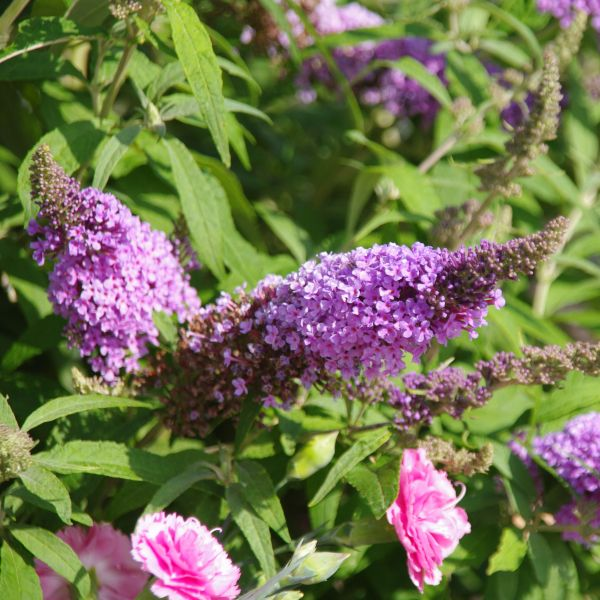 Buzz Lavender Butterfly Bush