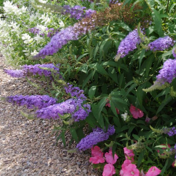 Buzz Sky Blue Butterfly Bush