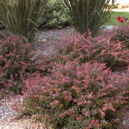 Cabernet Barberry