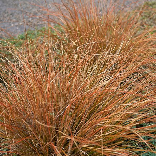Cappuccino Sedge Grass Image