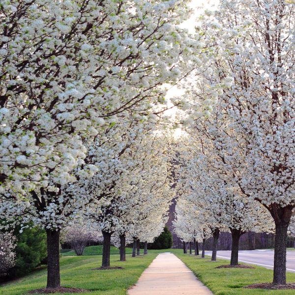 Chanticleer Flowering Pear