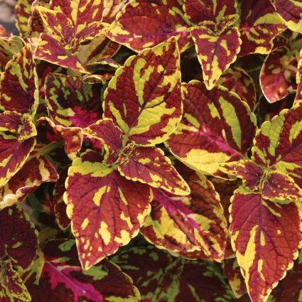 Coleus Splish Splash